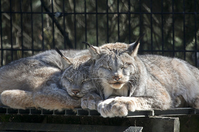 Lynx enjoying the sunny day