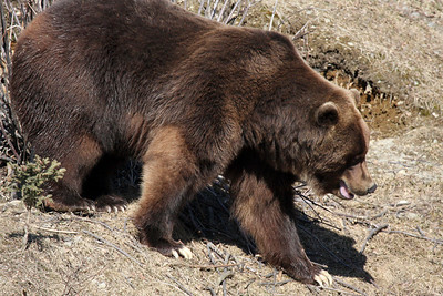 Jake, male Brown Bear, hopeful that Oreo will save him some dinner