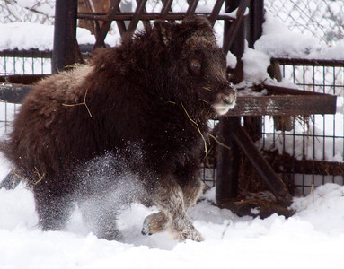 baby musk ox goes wheeee!