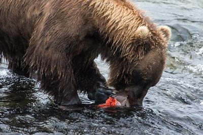 Alaskan Brown Bear-7
