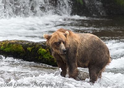 Alaskan Brown Bear-16