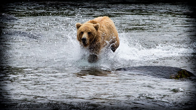 Alaskan Brown Bear-3