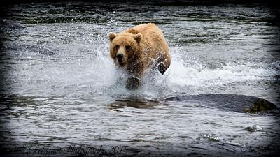 Alaskan Brown Bear-3