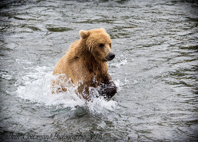 Alaskan Brown Bear-5