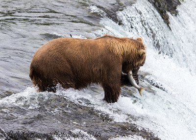 Alaskan Brown Bear-19