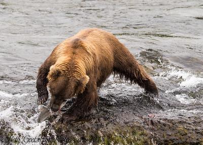 Alaskan Brown Bear-25