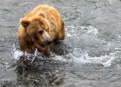 Alaskan Brown Bear-22