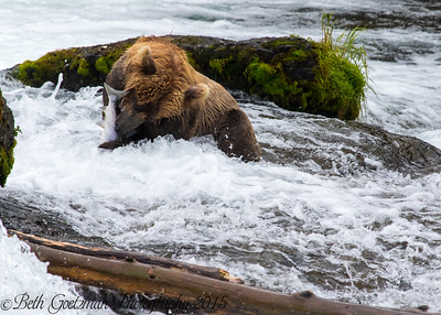 Alaskan Brown Bear-21