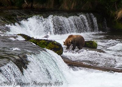 Alaskan Brown Bear-2