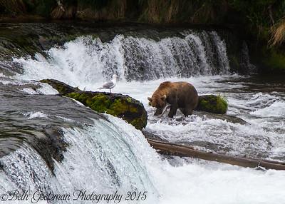 Alaskan Brown Bear-2