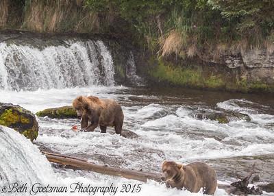Alaskan Brown Bear-14