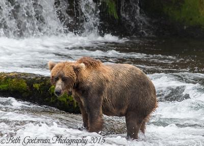 Alaskan Brown Bear-15