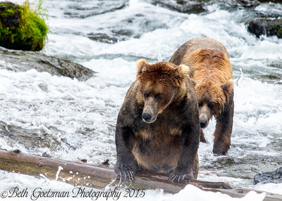 Alaskan Brown Bear-10