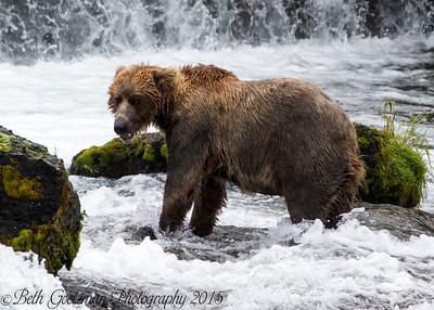 Alaskan Brown Bear-24