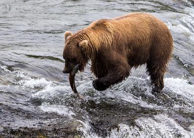 Alaskan Brown Bear-20