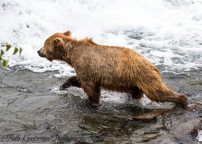 Alaskan Brown Bear-23