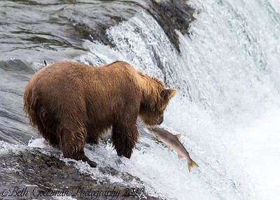 Alaskan Brown Bear-17