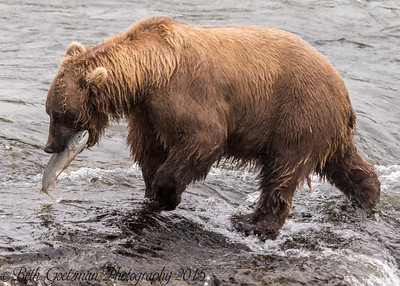 Alaskan Brown Bear-13