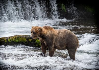 Alaskan Brown Bear-6