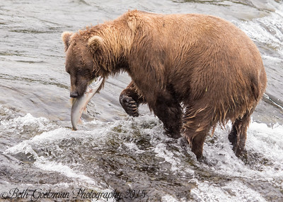 Alaskan Brown Bear-12