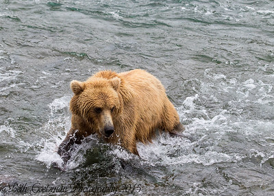 Alaskan Brown Bear-4