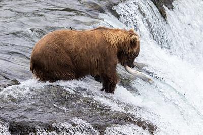 Alaskan Brown Bear-18