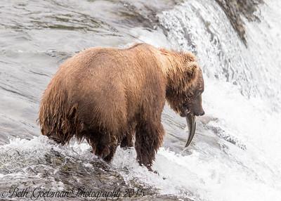 Alaskan Brown Bear-11