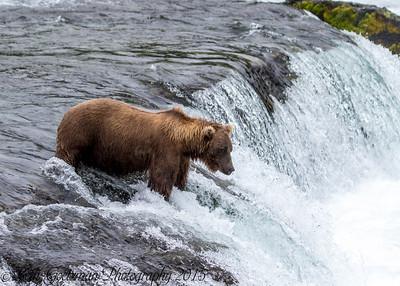 Alaskan Brown Bear-8