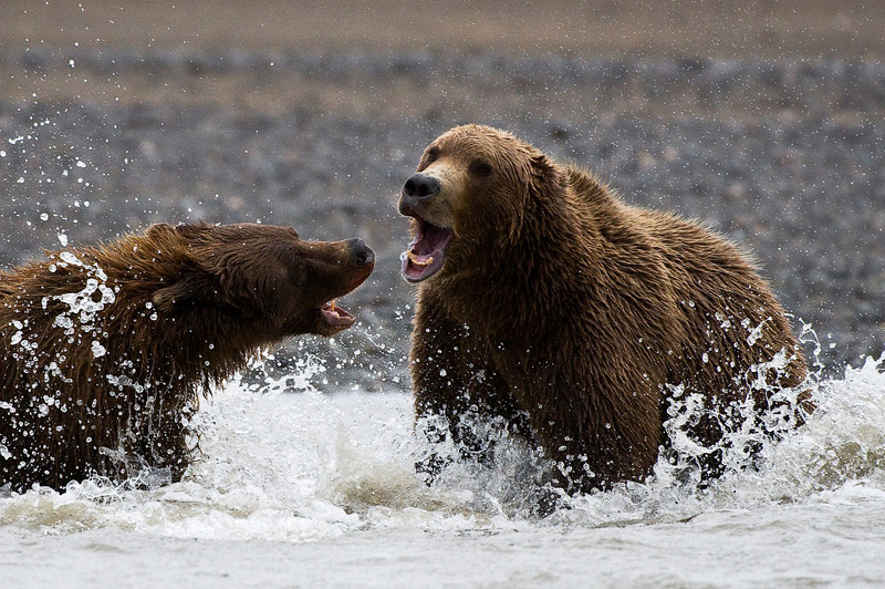 Bears in Territorial Dispute
