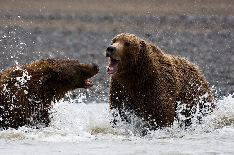 Bears in Territorial Dispute