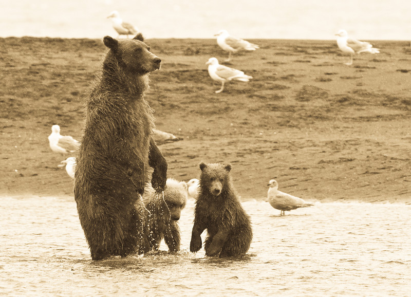 teaching the cubs to fish