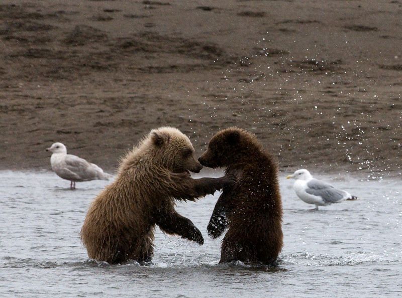 Cubs Playing