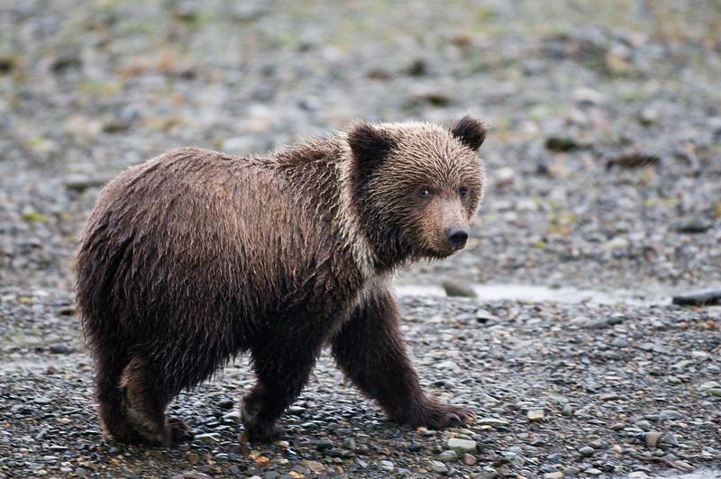 Bear Cub in the Rain