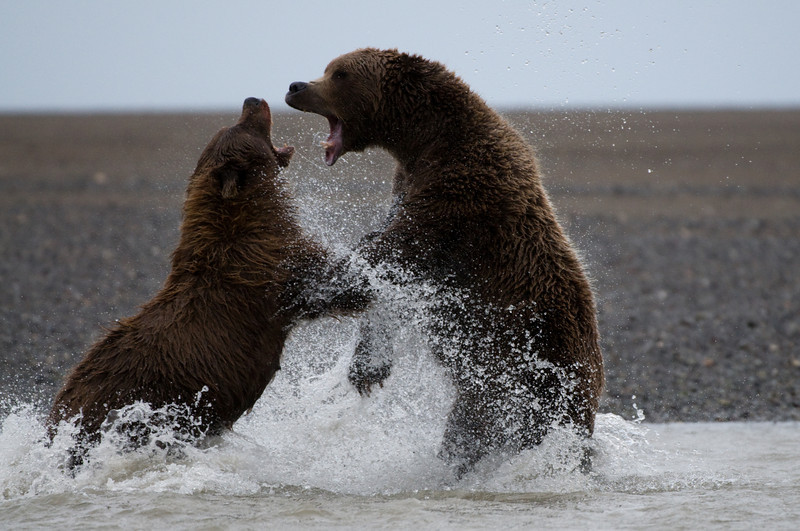 Bears in Territorial Dispute.