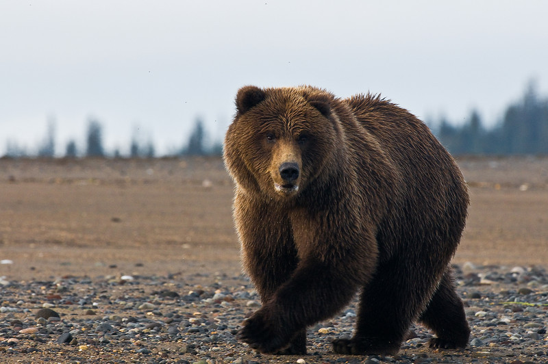 Alaskan Coastal Brown Bear.
