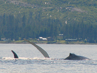 Coffman Cove, Alaska shows up behind this pair of humpback whales.