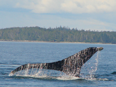Alaska water runs off a humpback tail as it rises before the whale dives.