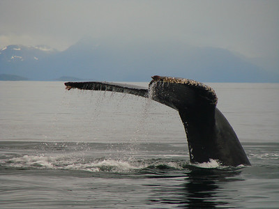 This humpback is ready to dive for another feeding.