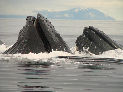 The end of a successful whale feed in Southeast Alaska\'s Inside Passage.