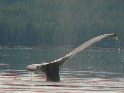 A humpback\'s tail dipping into the water at an angle.