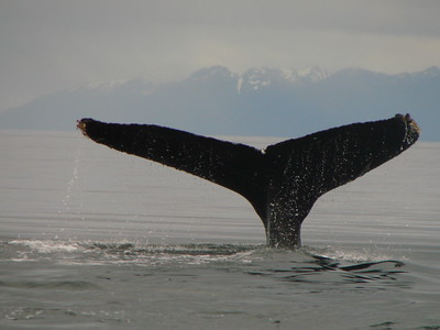 A humpback showing off its tail.