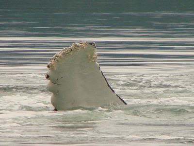 Barnacles grow on a humpback\'s fin.