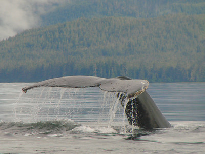 Graceful humpback whale tail.