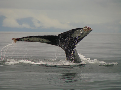The water dripping off this humpback\'s tail makes a beautiful pattern.