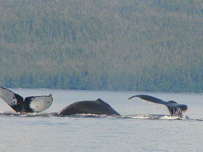 A trio of humpback whales.