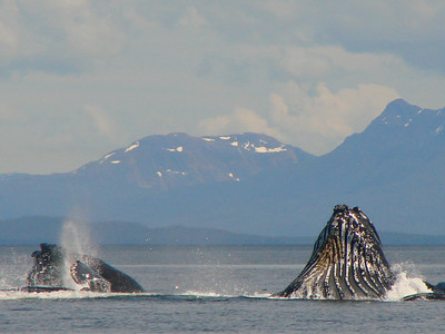 The mountains in the background closely mirror the whales finishing this round of feeding.