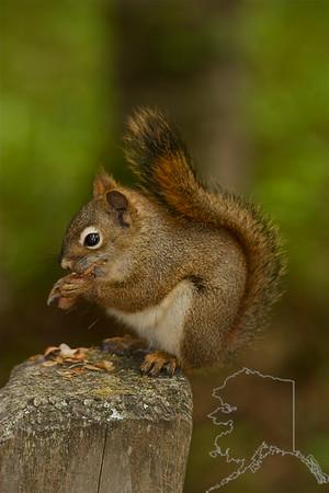 Alaskan squirrel eating a pine cone.