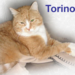 Torino adopted from CHAC on 7/14/06. Torino was accustomed to a calm, quiet life before his owner died.  When rescued, this gentle giant seemed to have given up.  But, with just a little love, his hope has been restored and he's ready for a new beginning.