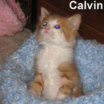 Calvin adopted out of his foster home on 7/17/06. Red tabby cats are good natured and make wonderful companions.