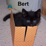Bert adopted from CHAC on 7/22/06. Black cats are typically friendly, social and loving.  Bert has all of these qualities and more!